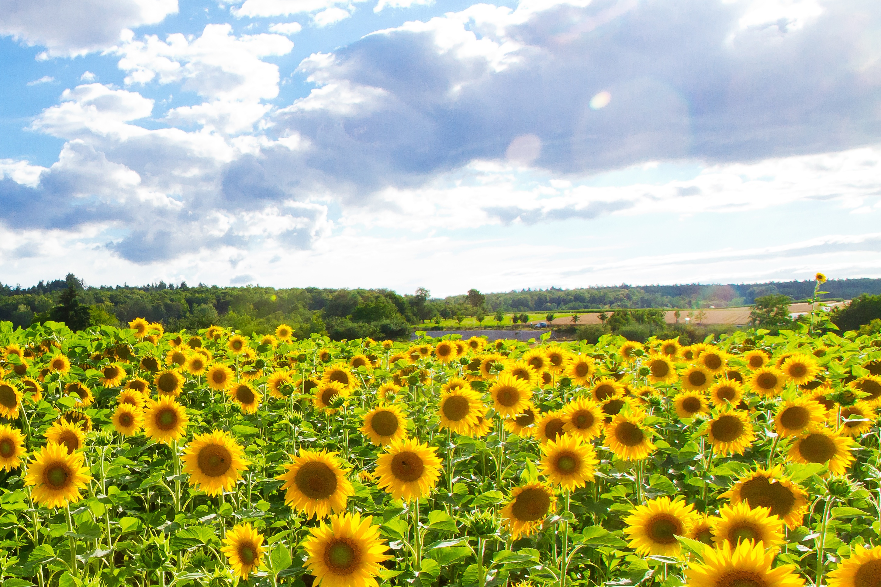 Field of sunflowers for the production of biodiesel, using potassium hydroxide solid